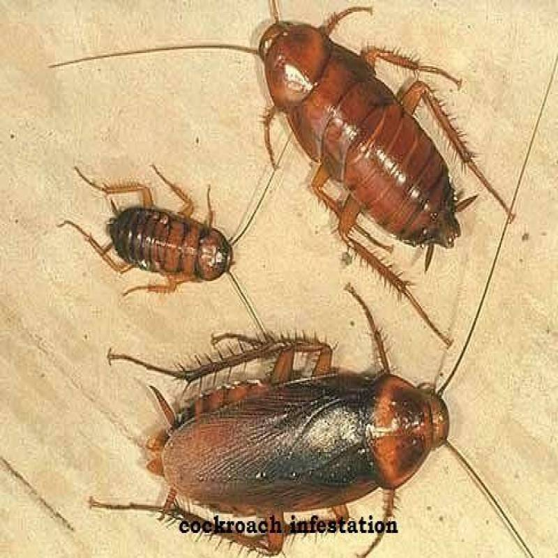 COCKROACHES CONTROL SERVICES IN KENYA