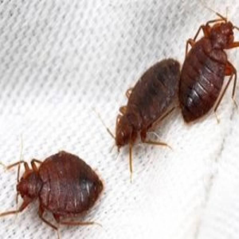 BEDBUGS CONTROL SERVICES IN KENYA